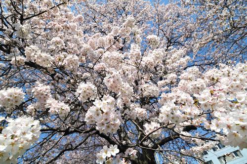Sakura_00038